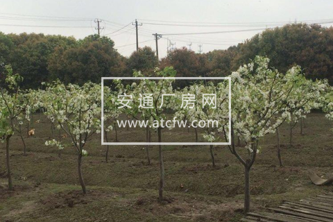 水果园26000平米土地出租(葡萄,梨,桃子)
