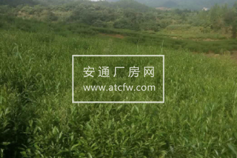 江西九江有60亩高山绿茶超低价对外出租