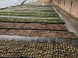 多肉植物1000平米大棚低价转租