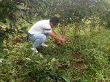 云南省西双版纳市勐海县布郎山茶园林地915亩转让37年
